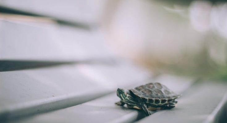 tartaruga di terra